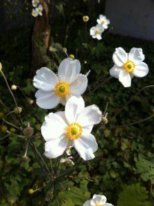 ご近所の秋明菊